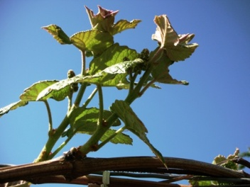 branches of a grape vine